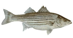 striper fish image
